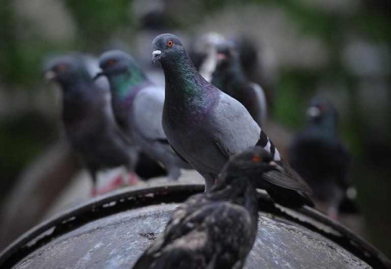 Pigeons waiting for food from the public in Kuala Lumpur, Malaysia on October 16, 2013. Pigeons and doves constitute the bird clade Columbidae, that includes some 310 species. They are stout-bodied birds with short necks, and have short, slender bills with fleshy ceres. Doves feed on seeds, fruits, and plants.  Photo: Firdaus Latif