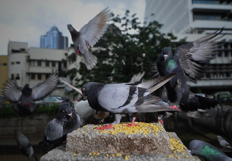 Pigeons eats food in Kuala Lumpur, Malaysia on October 16, 2013. Pigeons and doves constitute the bird clade Columbidae, that includes some 310 species. They are stout-bodied birds with short necks, and have short, slender bills with fleshy ceres. Doves feed on seeds, fruits, and plants.  Photo: Firdaus Latif/