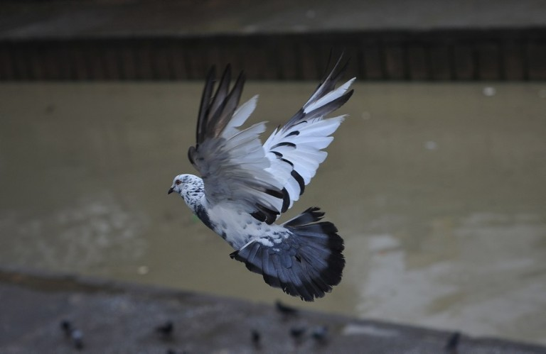 Pigeon flying away in Kuala Lumpur, Malaysia on October 16, 2013. Pigeons and doves constitute the bird clade Columbidae, that includes some 310 species. They are stout-bodied birds with short necks, and have short, slender bills with fleshy ceres. Doves feed on seeds, fruits, and plants.  Photo: Firdaus Latif